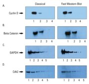 Comparable results obtained with classic Western blotting protocol and Fast Western Blot Kit