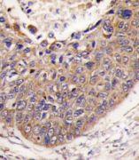 FXN Antibody (PA5-13410)
