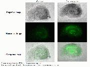 Apoptosis detection in Rat Hippocampus Slice Cultures using CellEvent® Caspase-3/7 Green Detection Reagent