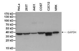 GAPDH Loading Control Antibody (MA5-15738-BTIN)