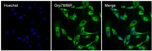 Rabbit IgG (H+L) Secondary Antibody (A27034)