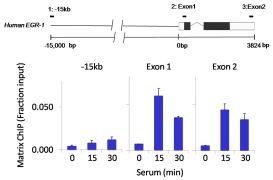GATA4 Antibody (MA5-15532)