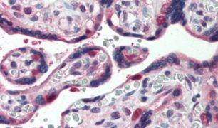 GLG1 Antibody (PA5-32780)