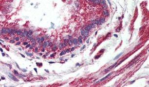 GPR150 Antibody (PA5-33646)