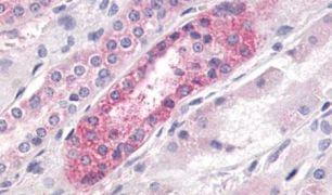 GPR23 Antibody (PA5-33895)