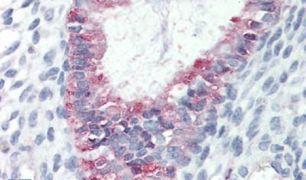 GPR27 Antibody (PA5-32821)