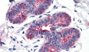 RAI3 Antibody (PA5-33796)