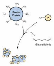 Glutaraldehyde hapten-carrier conjugation