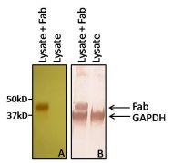 Human IgG F(ab')2 Secondary Antibody (31482)