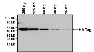HA Tag Antibody (26183-BTIN)