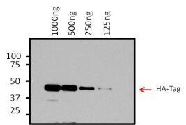 HA Tag Antibody (26183-1MG)