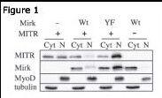 HDAC9 Antibody (PA5-11245)