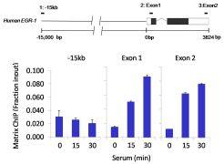 HIF1A Antibody (700505)