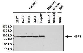 HSF1 Antibody (PA3-017)