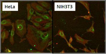 HSP60 Antibody (MA3-013)