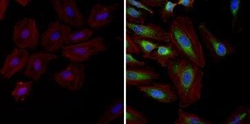 HSP90 alpha Antibody (MA3-010)