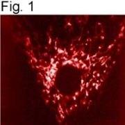 mtHSP70 Antibody (MA3-028)