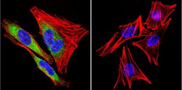HSP90 beta Antibody (PA3-012)