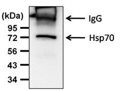 HSP70 Antibody (MA1-10889)