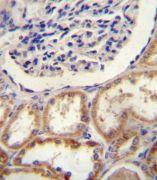 HTRA1 Antibody (PA5-11412)