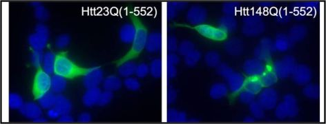 Huntingtin / Htt neoepitope 552 Antibody (PA1-003)