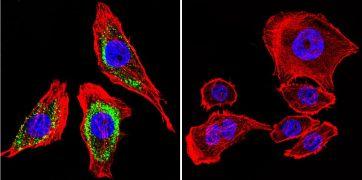 ATP4B Antibody (MA3-923)