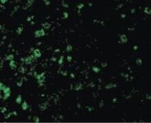 ICAD Antibody (PA5-19889)