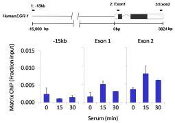 ICAM-1 Antibody (710278)