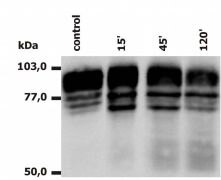 CD18 Antibody (MA1-19017)