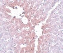 KLF4 Antibody (PA5-20897)