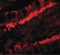 KREMEN1 Antibody (PA5-34520)