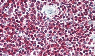 LGR6 Antibody (PA5-33889)