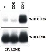 LIME Antibody (MA1-19365)