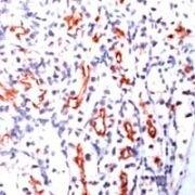 CD205 Antibody (MA1-38550)