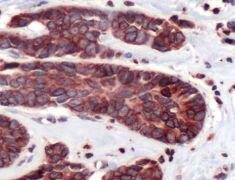 Lamin B1 Antibody (PA5-32474)