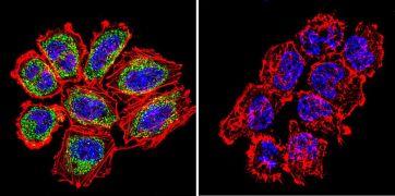 Pan Ras Antibody (MA1-012X)