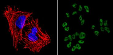 SOX2 Antibody (MA1-014-D488)