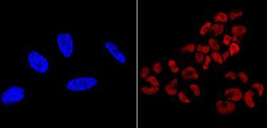 SOX2 Antibody (MA1-014-D550)
