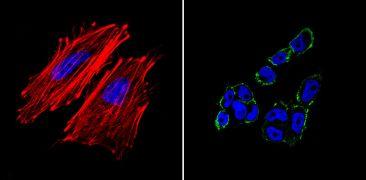 TRA-1-81 Antibody (MA1-024-D488)