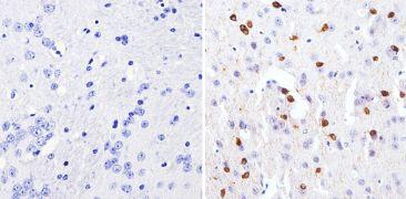 GATA3 Antibody (MA1-028)