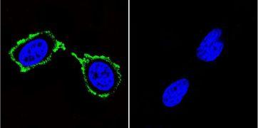 PSD95 Antibody (MA1-045)