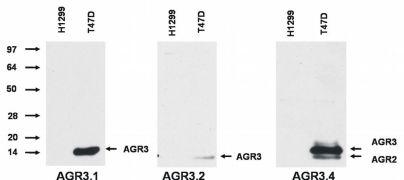 AGR3 Antibody (MA1-10048)