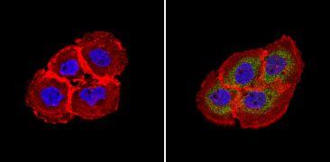 RhoA/RhoC Antibody (MA1-123)