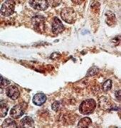 p73 Antibody (MA1-23147)