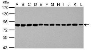 Nuclear Matrix Protein p84 Antibody (MA1-23261)