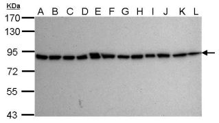 Ku80 Antibody (MA1-23314)