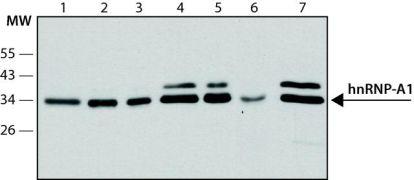 hnRNP A1 Antibody (MA1-26736)