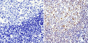 APE1 Antibody (MA1-440)