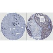 HEF1 Antibody (MA1-5784)