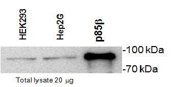 PIK3R2 Antibody (MA1-90048)